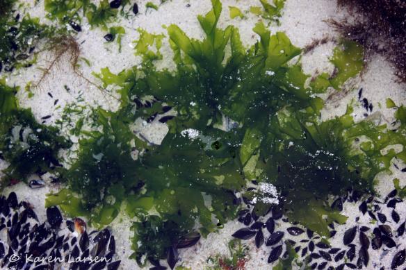 Seaweed in a rock pool