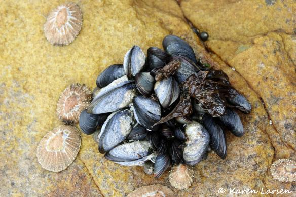 Random black mussels clinging to a rock