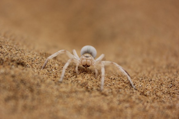 Dancing White Lady spider