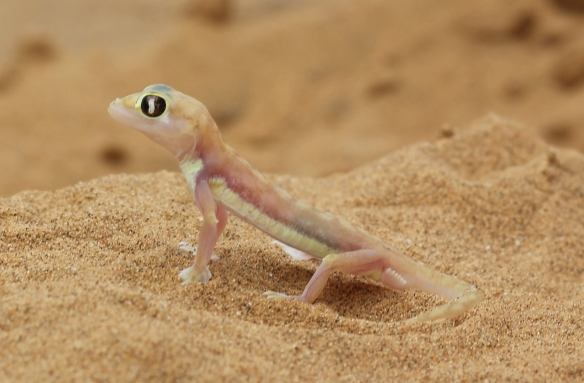 Palmato gecko or Web Footed gecko