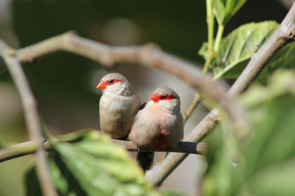 Waxbills outside our bedroom window