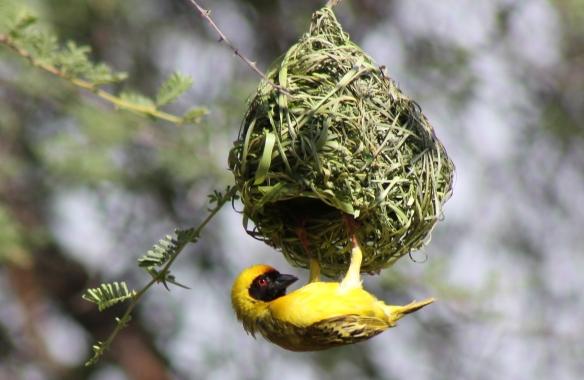 African Masked Weaver Bird