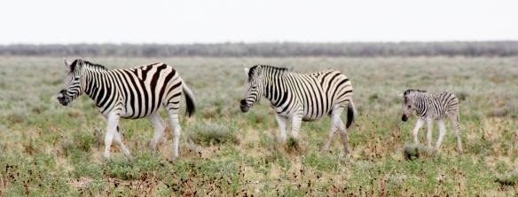 Burchell's Zebra  in Etosha Park.