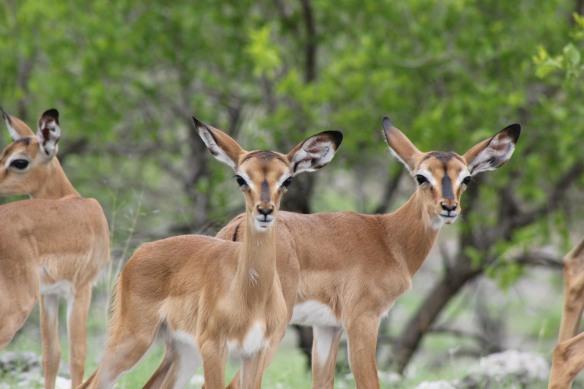 Curious Impala juveniles