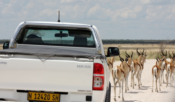 Springbok crossing the road undeterred by the vehicle