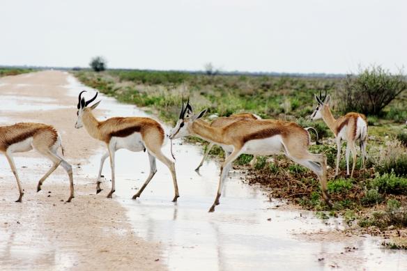 Springbok crossing the road