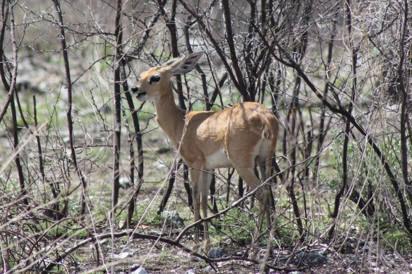The petite steenbok