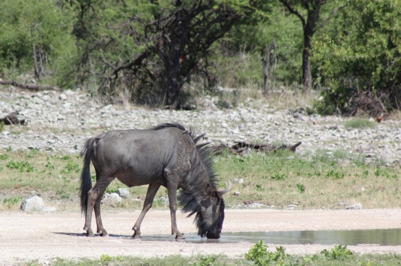 Wildebeest drinking out of a rainpool
