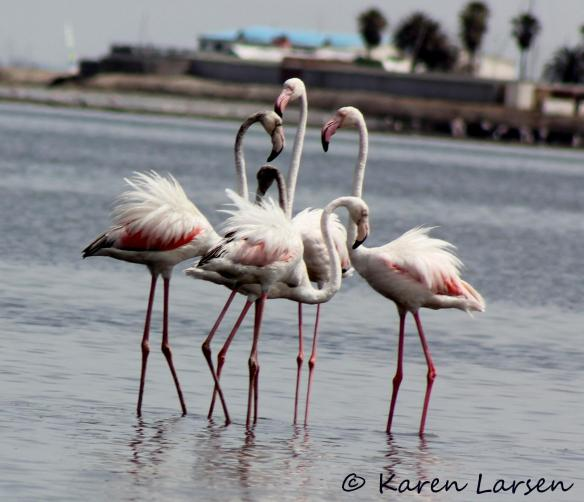 Windblown flamingos